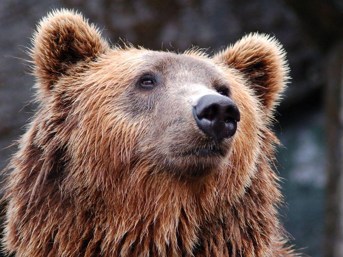 Foto: Los osos son símbolo de los mercados bajistas. (Foto: Pixabay)