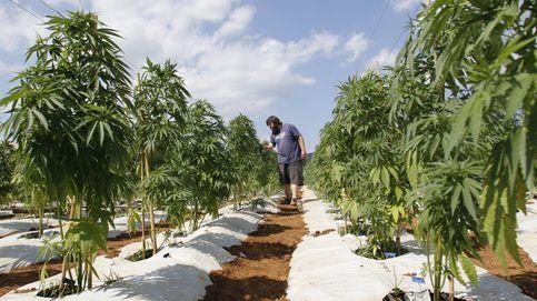 Córdoba tendrá una plantación legal de marihuana con fines medicinales