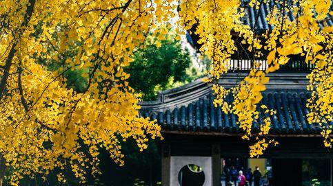 Gingko biloba, el árbol milenario que protege tu memoria