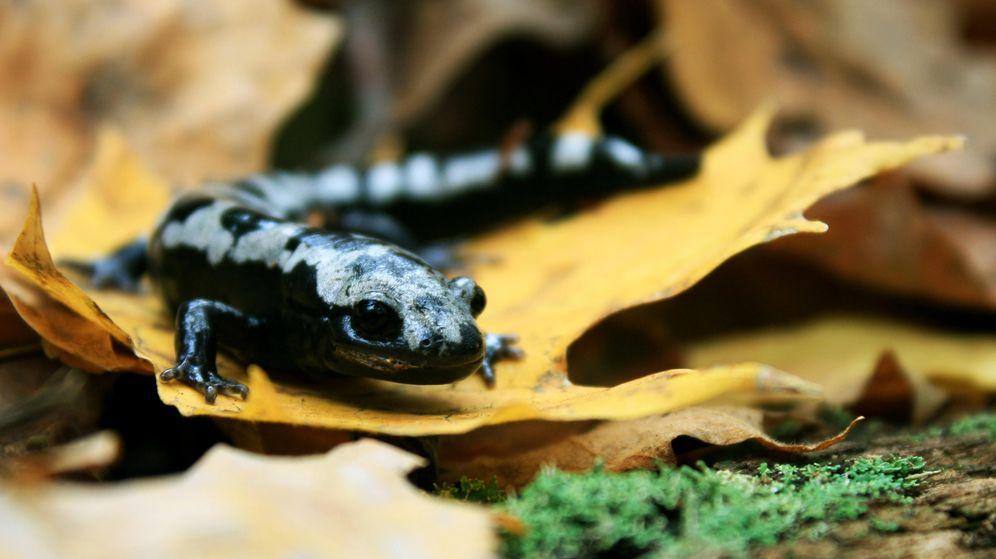 Foto: La salamandra de mármol está aumentando su distribución debido al cambio climático