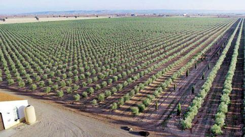 Las auténticas claves del aceite de oliva extra premiado más de 120 veces