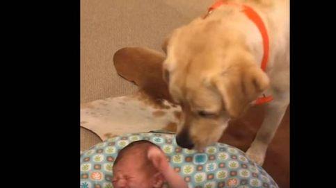 Peanut, el labrador que calma el llanto de un bebé recién nacido