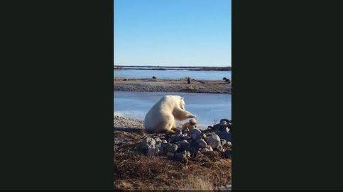 El momento en el que un oso polar acaricia a un perro y acaba mal