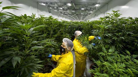 Unidas Podemos acelera los trabajos para presentar una ley de regulación del cannabis