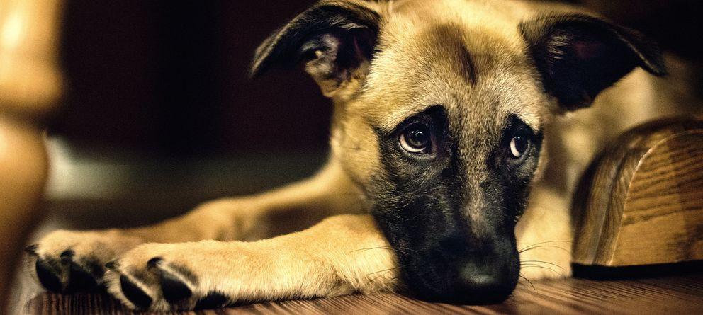 Foto: Un estudio demuestra que los perros saben si estás contento o enfadado