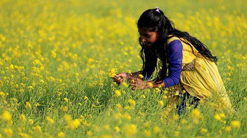 Campos de mostaza en Bangladesh