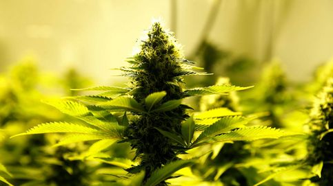 Un museo canario, una pyme de Aluche... el caos de la marihuana legal en España
