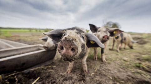 De la jaula al paladar: la carne de los animales con estrés es (y sabe) peor