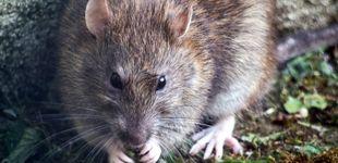 Post de La jubilación de Magawa, la rata que arriesgó su vida para encontrar minas