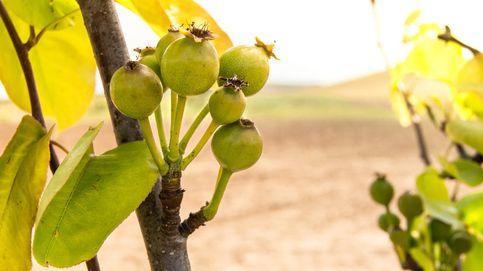 Peritas de San Juan: ¿conoces este minibocado de fruta?