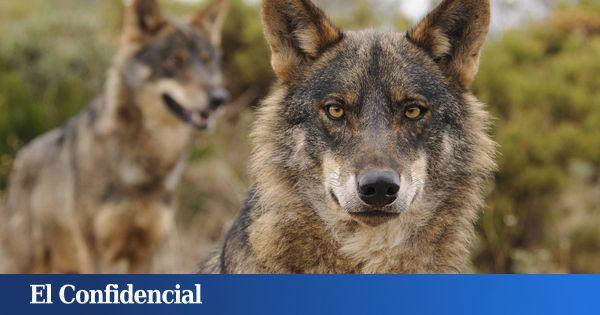Siete autonomías se rebelan contra la orden que prohíbe cazar lobos en España