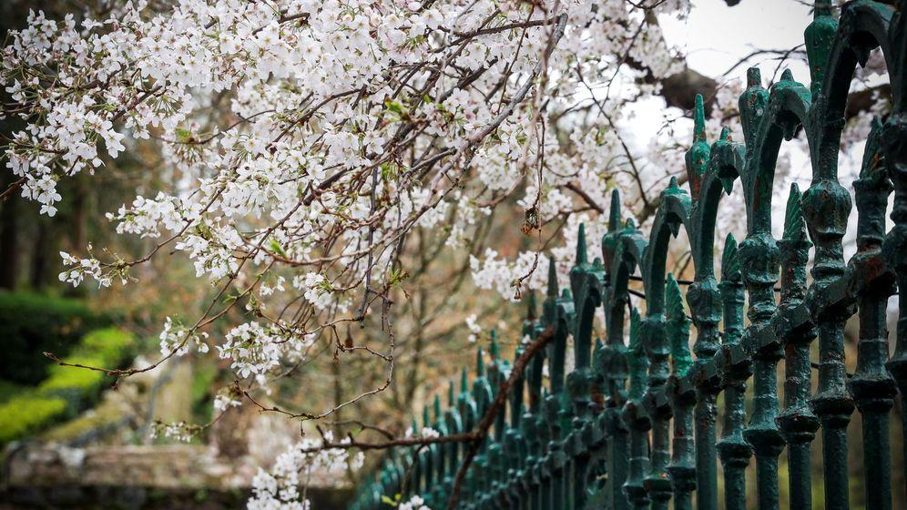 Foto: Árbol en flor a principios de marzo en San Sebastián. (EFE)