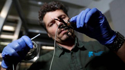 Sensores y microsatélites para proteger al cangrejo de río