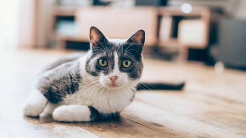 Por qué hay tantos gatos con las patas de color blanco
