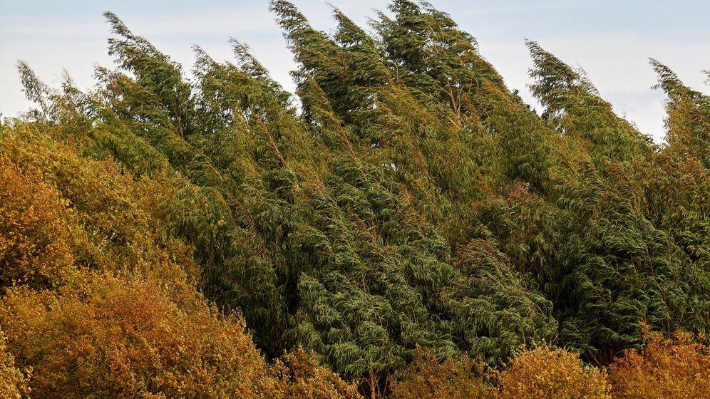 Foto: La celulosa producida por Ence proviene en gran parte de los eucaliptos. (EFE)