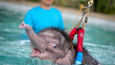 Así se rehabilita una bebé elefante en Tailandia