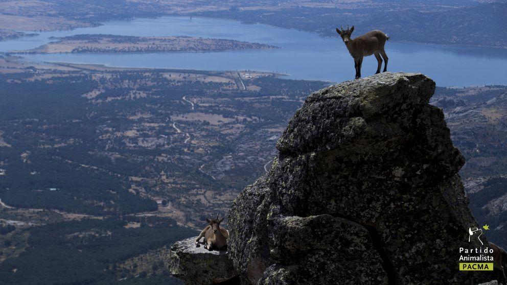 Un juez paraliza el sacrificio de 2.500 cabras ante el riesgo de extinción