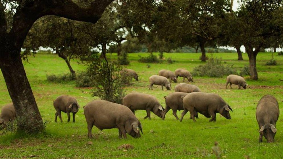 Foto: El cerdo ibérico de bellota, el principal tesoro de las dehesas (Foto: Cedida por AGEDREX)