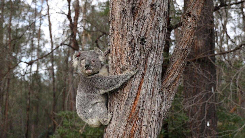 Un koala rescatado en 2018 de los fuegos que arrasaron gran parte de Australia. Foto: Reuters