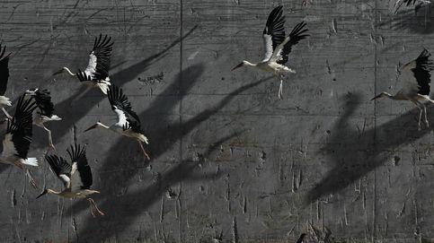 Las cigüeñas de Alcalá buscan alimento