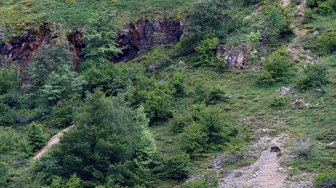 Efectivos del Principado de Asturias analizan los restos de un oso pardo en Somiedo