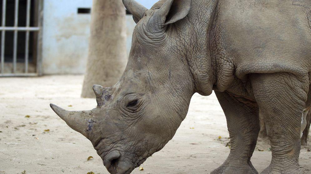 Foto: El cuerno de rinoceronte es muy preciado como afrodisiaco. Foto: EFE/Luong Thai Linh
