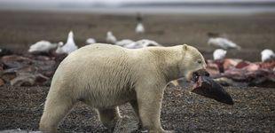 Post de Rusia declara el estado de emergencia por la invasión de osos hambrientos