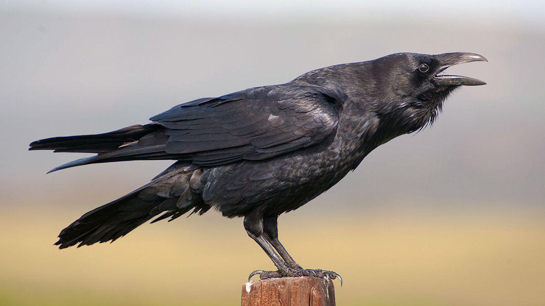 El cuervo puede ser el animal más inteligente del planeta (aparte de los primates)