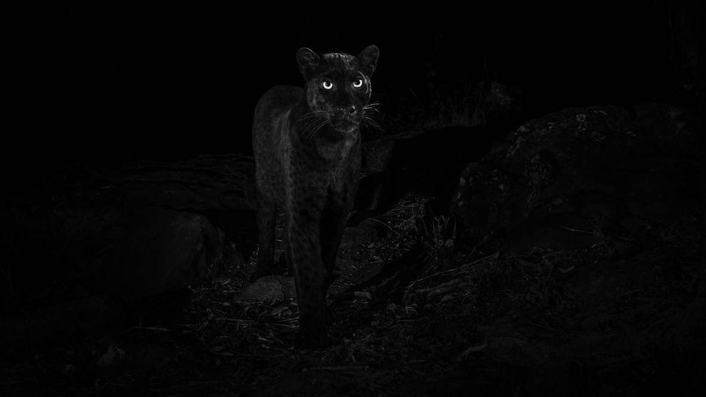 Fotografían a un leopardo negro africano pero no, no es la primera vez en 100 años