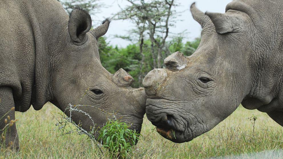 La ciencia ayuda al rinoceronte blanco: fecundación 'in vitro' para salvarles