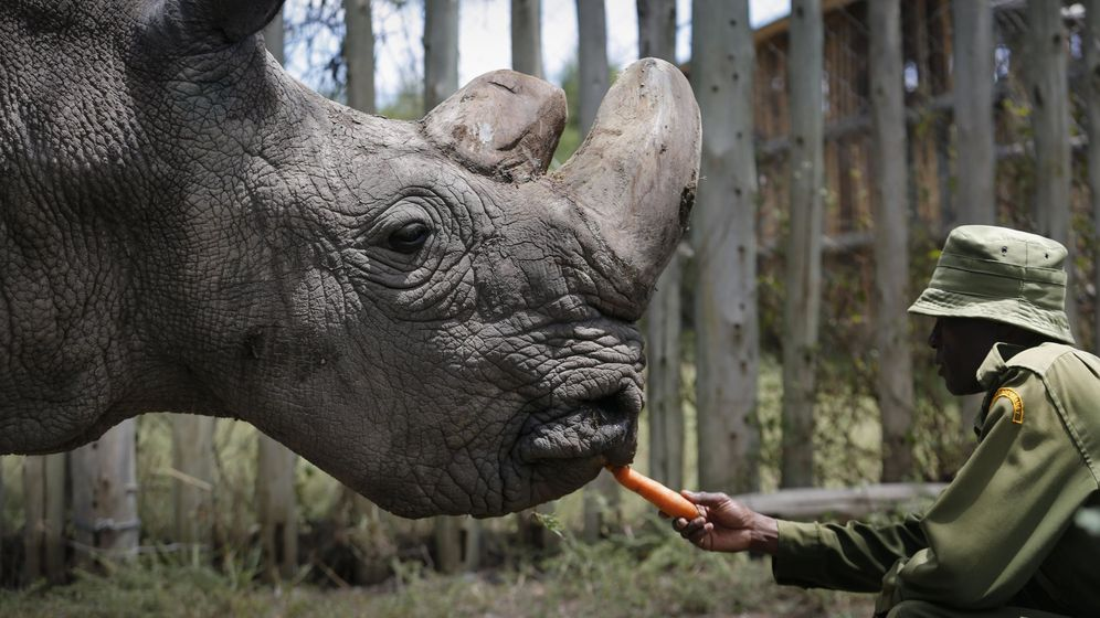 Foto: El último rinoceronte blanco. (EFE)