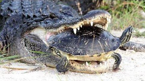 Este cocodrilo intenta comerse una tortuga, pero sin éxito