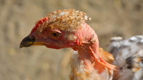 Hungría sacrificará a 53.000 pavos por un brote de H5N8, una cepa de la gripe aviar