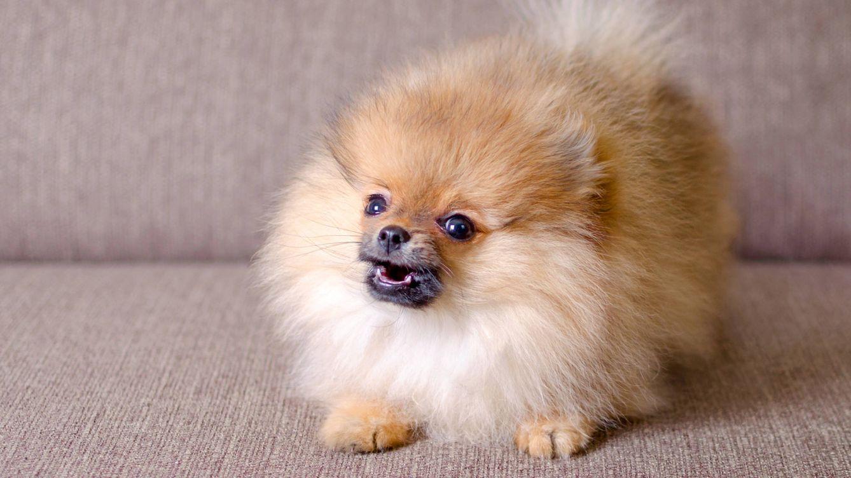 Por qué los perros pequeños suelen tener más 'mala leche' que los grandes