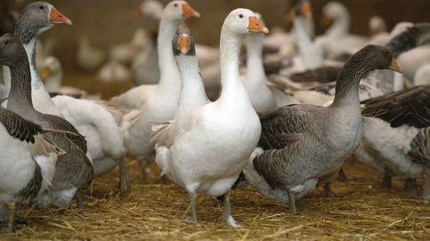 Corea del Sur sacrifica a 19 millones de aves tras un brote altamente contagioso de gripe aviar