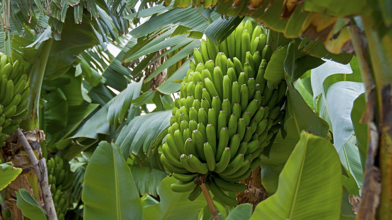 Plátanos no maduros todavía en la planta.  (iStock)