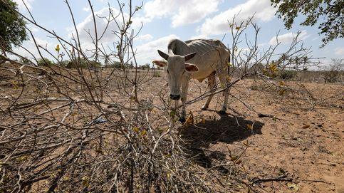 Una vaca demacrada se alimenta de un arbusto seco