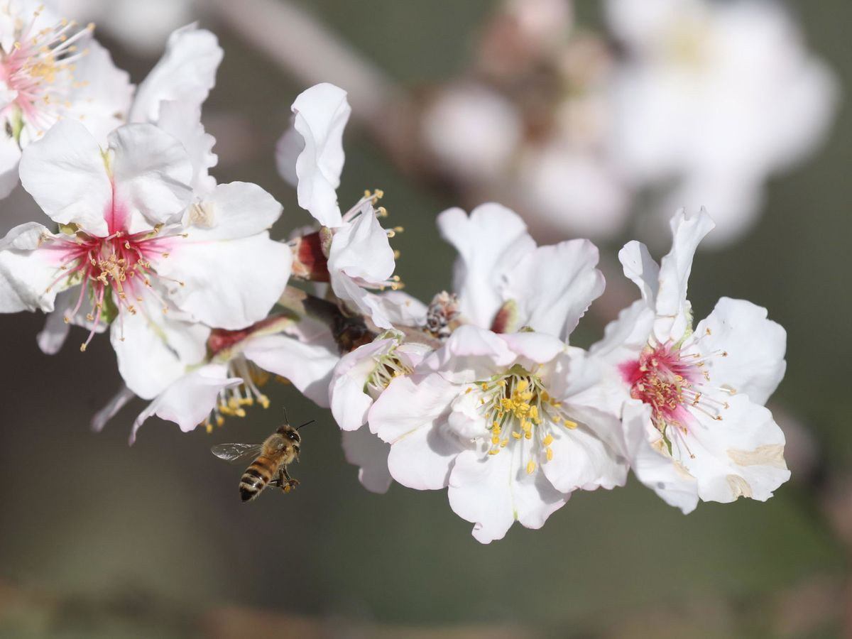 Photo: The pollinating function of bees is essential (EFE EPA / Alaa Badarneh)