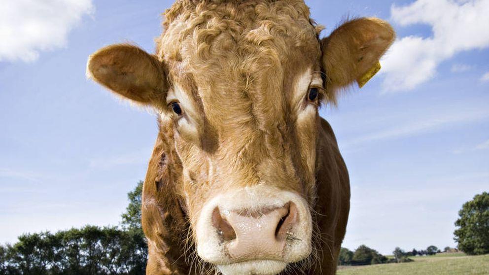La vaca que consiguió fugarse del matadero y tener una vida libre