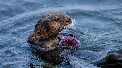 Las nutrias marinas evitan la desaparición de los bosques de algas