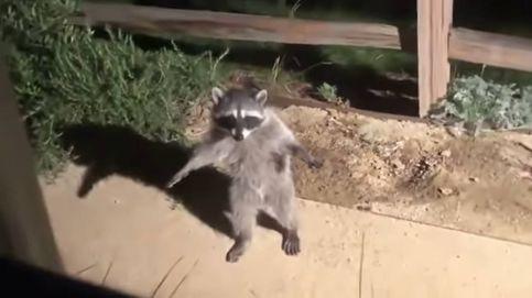 El vídeo de los mapaches que hacen la estatua y que causa furor en internet