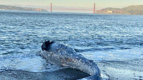 Aparecen siete ballenas muertas en Alaka: creen que la culpa es del cambio climático