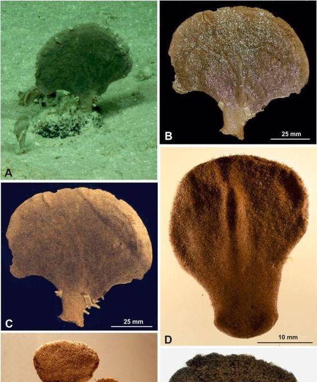 Foto: 'Moanammina semicircularis', una de las especies descubiertas. (European Journal of Protistology)