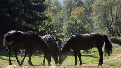 Alerta en la ancestral 'rapa das bestas': el caballo salvaje gallego, rumbo a la extinción