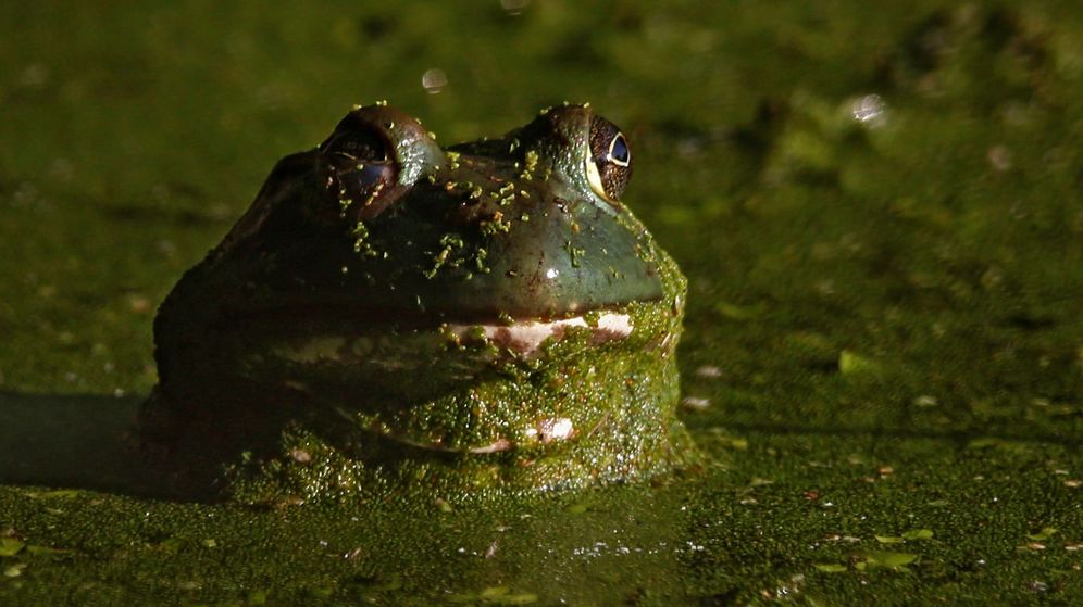 Foto: Un ejemplar de la rana toro (EFE)