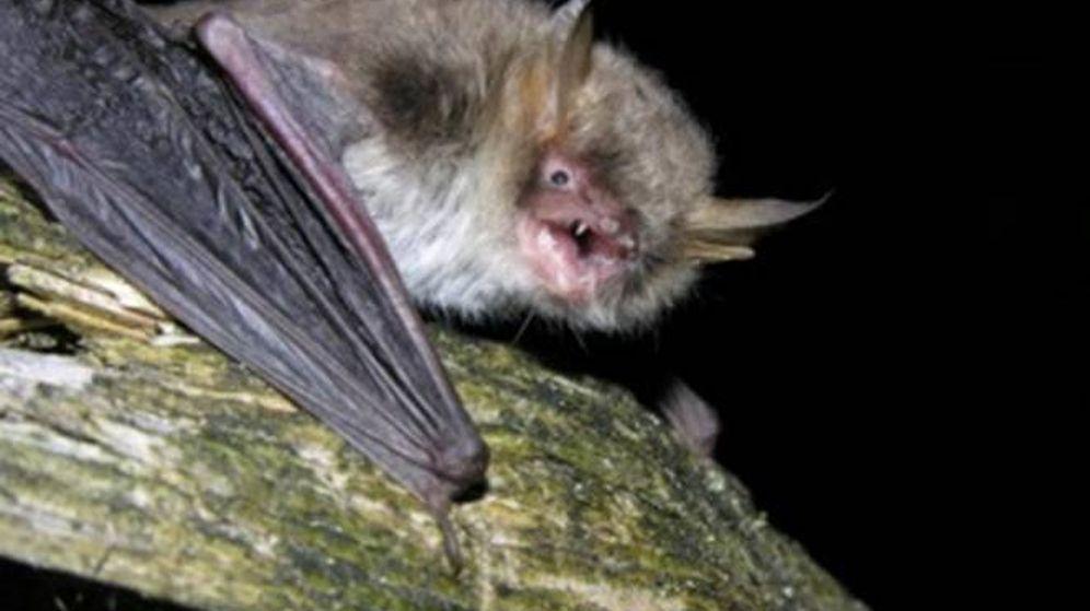 Foto: Ejemplar de murciélago ratonero cíptico. (EBD)
