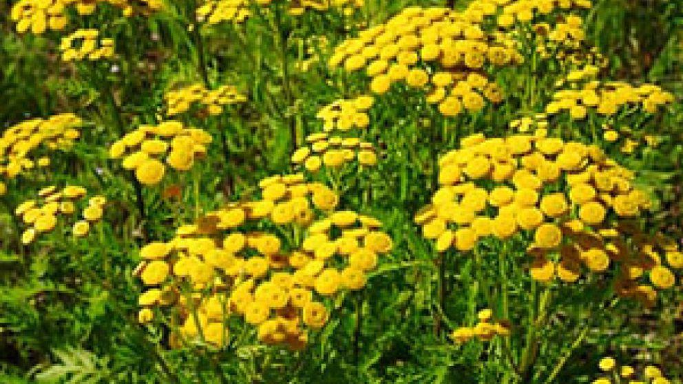 El 12% de la población usa plantas medicinales para adelgazar