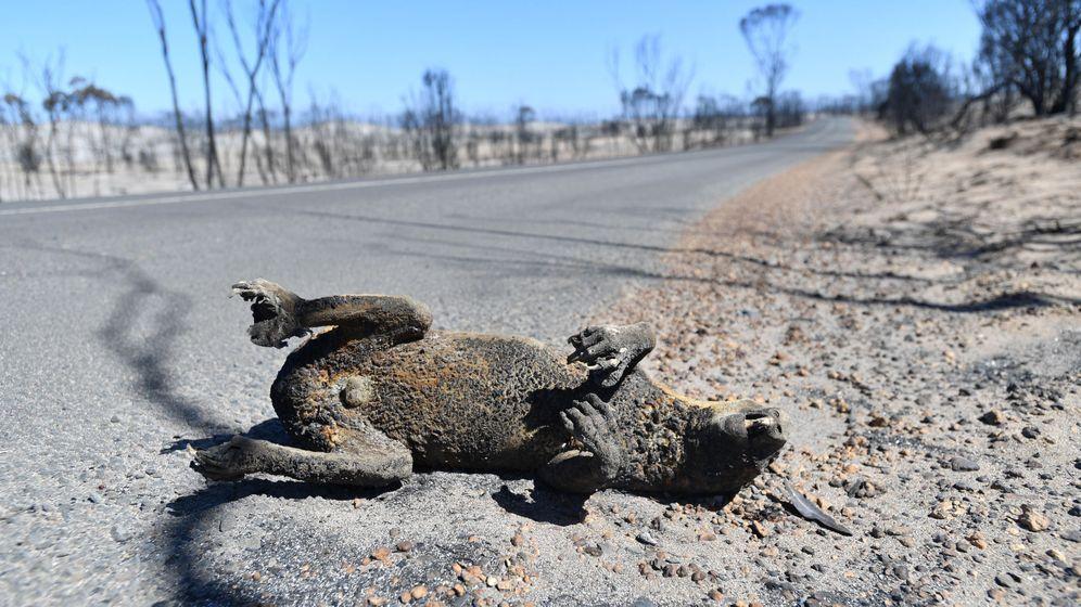 Foto: Un koala muerto por los incendios de Australia. Foto: EFE EPA DAVID MARIUZ