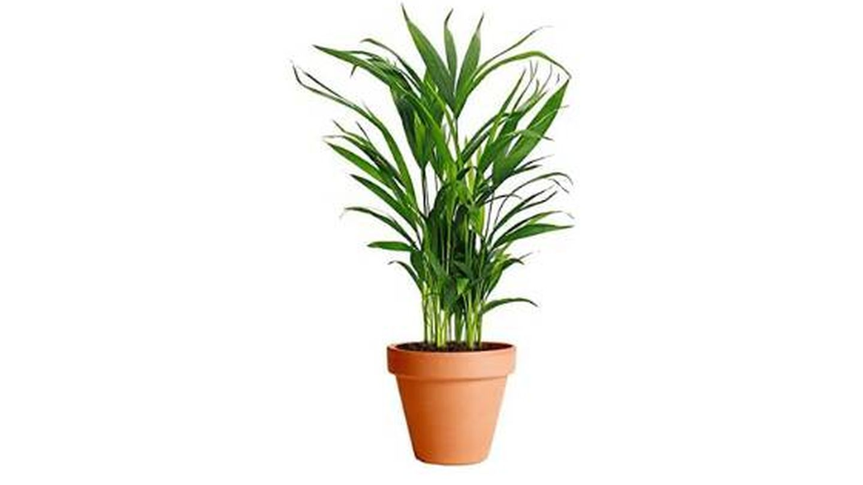 Plantas de interior Palma Areca originaria de Madagascar