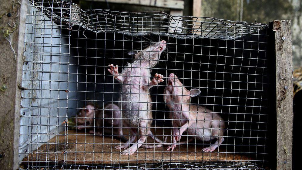 Foto: Ratas en una jaula. Foto: EFE LEGNAN KOULA